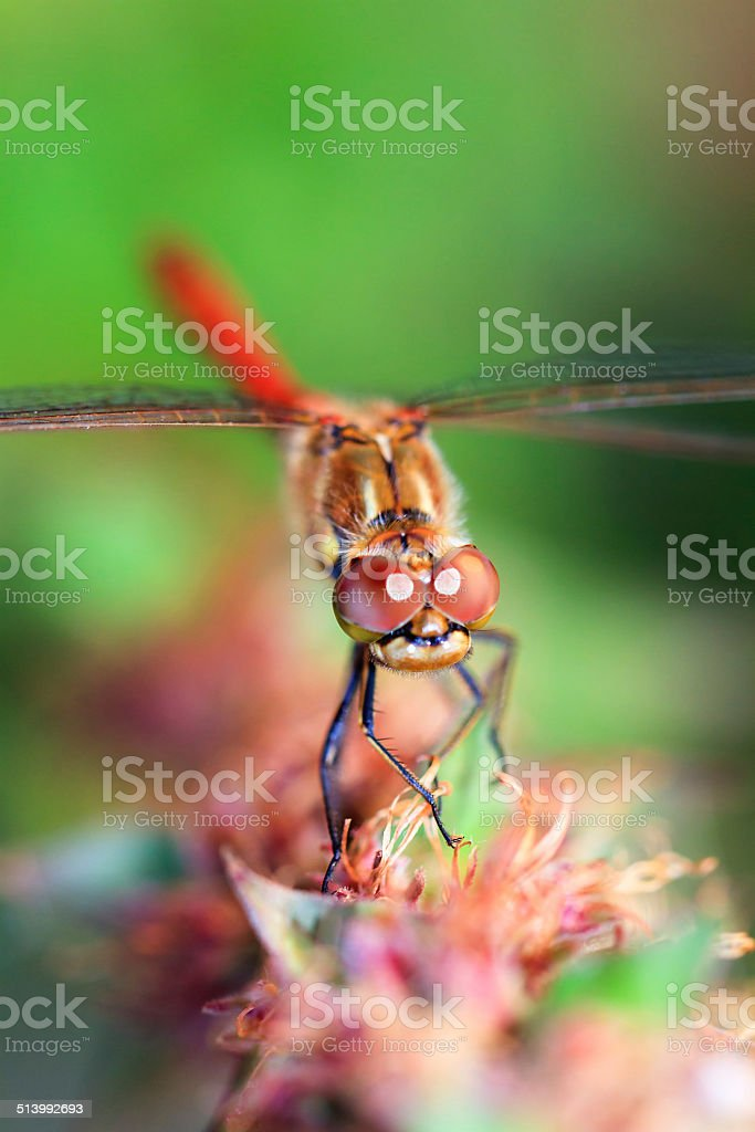The Common Darter stock photo