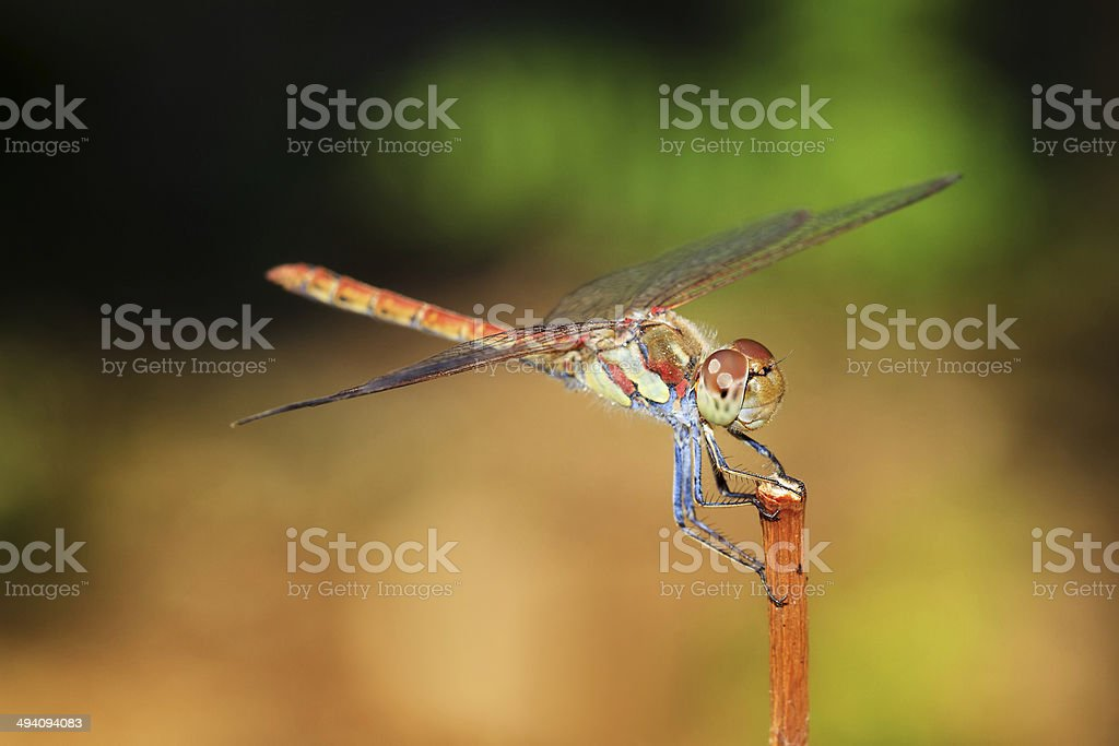 The Common Darter side stock photo