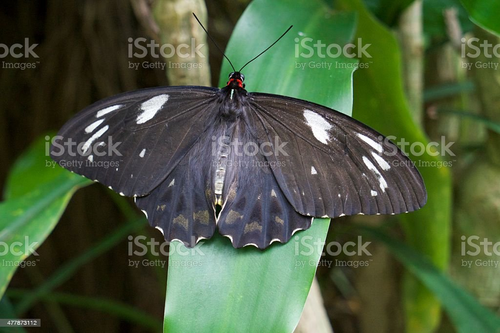 The Common Eggfly Butterfly stock photo