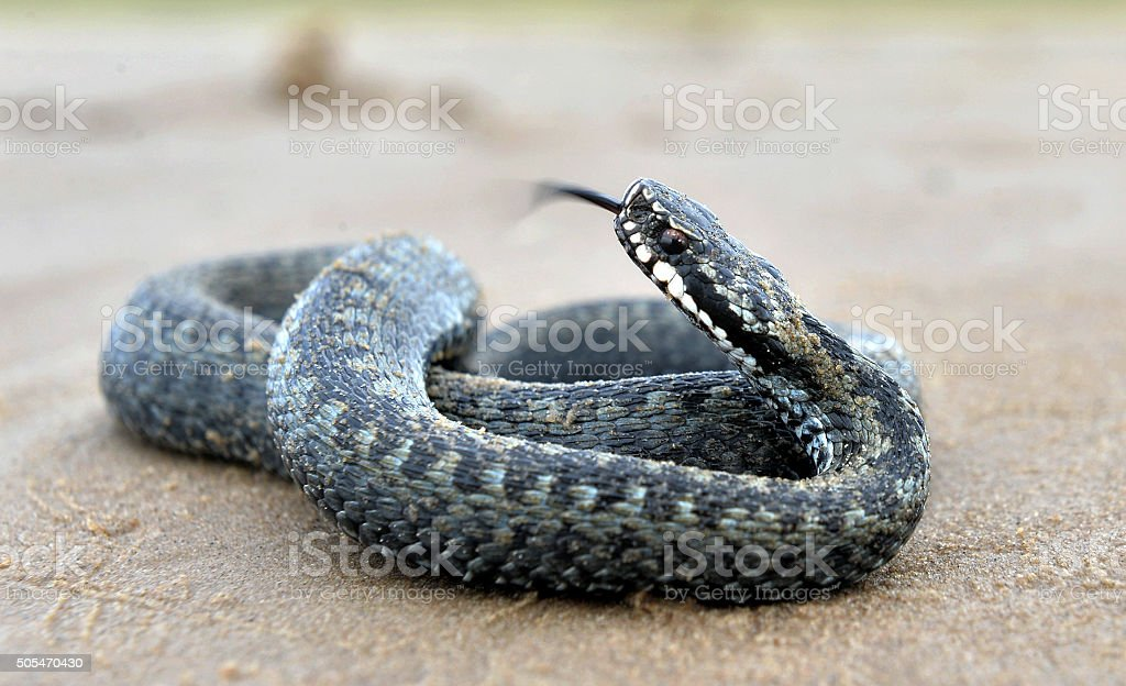 The common European adder stock photo