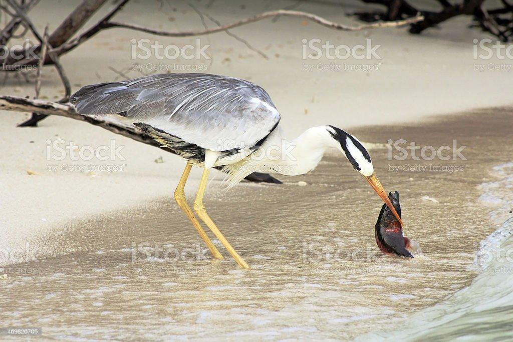 the common heron stock photo