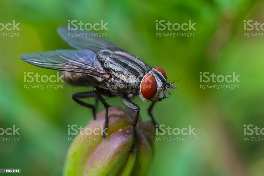 The Common Housefly (Musca Domestica) stock photo