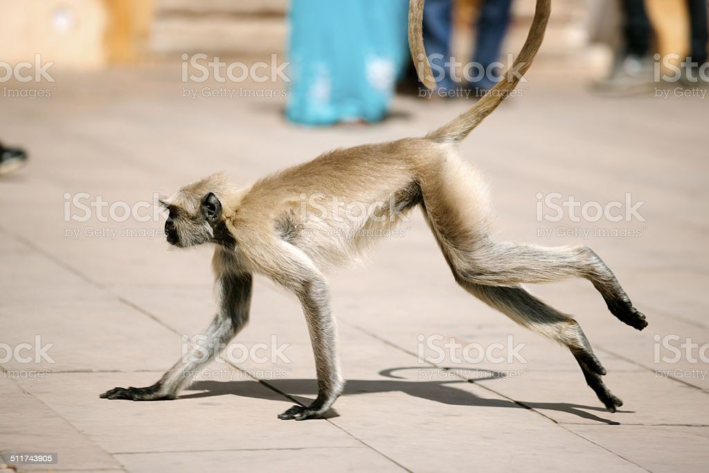 The Common Langur, Rajasthan stock photo