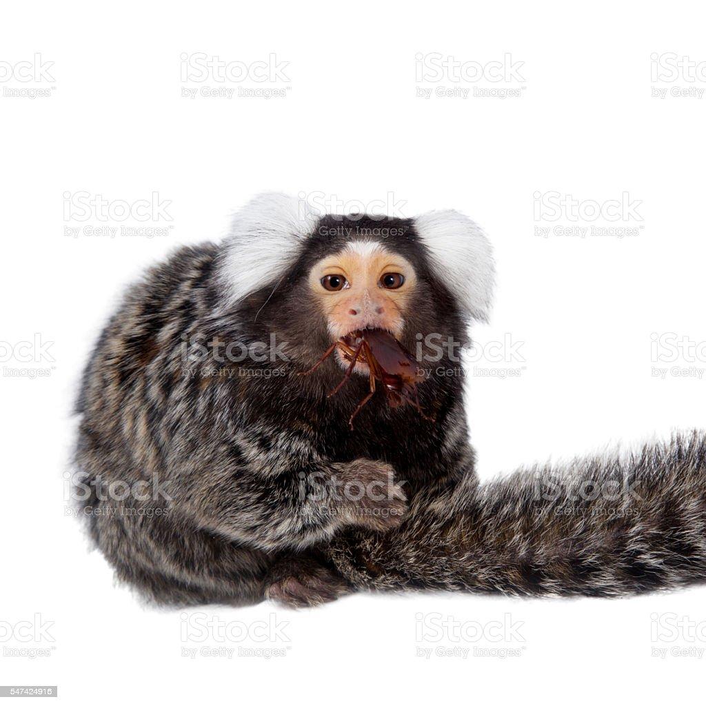 The common marmoset on white stock photo