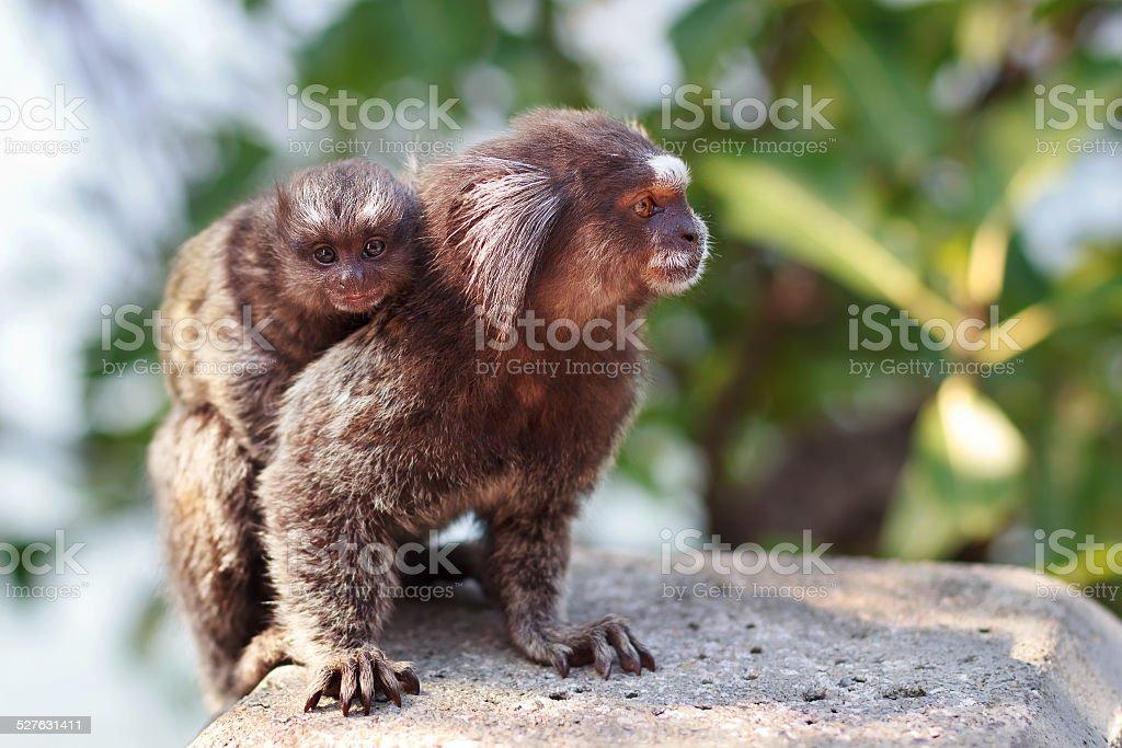 The common marmoset (Callithrix jacchus) White-eared female monk stock photo