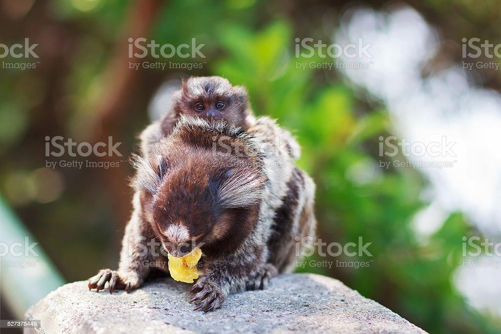 The common marmoset  White-eared female monkey eating banana wit stock photo