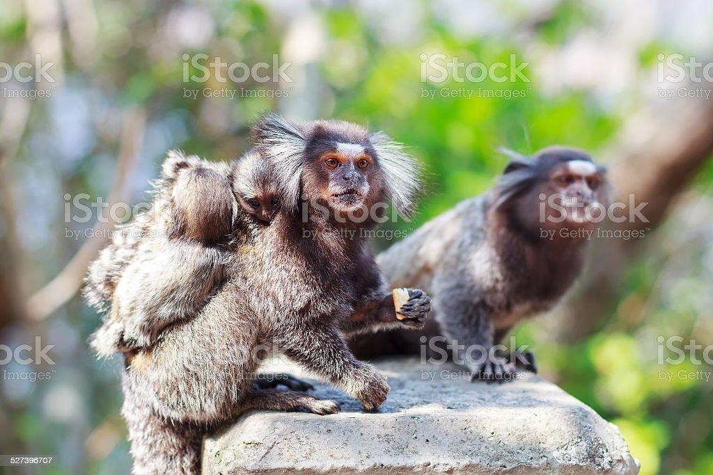 The common marmoset (Callithrix jacchus) White-eared monkey fami stock photo