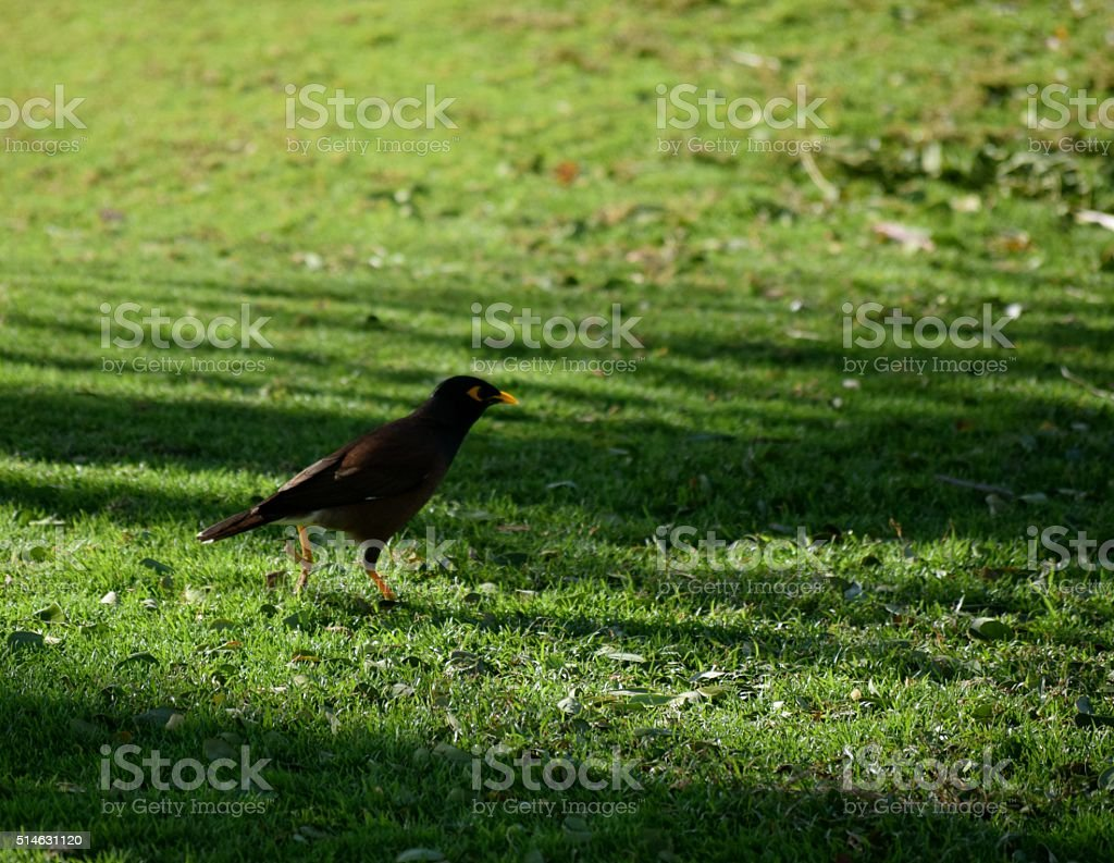 The Common Myna Bird stock photo
