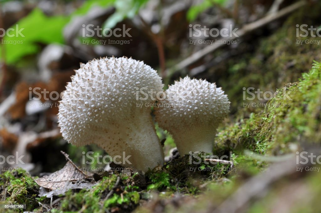 The Common Puffball stock photo