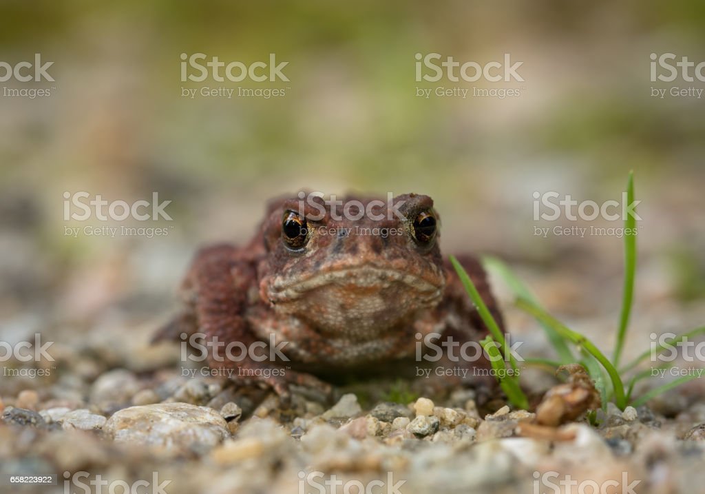 The common toad, European toad Bufo bufo, front view stock photo