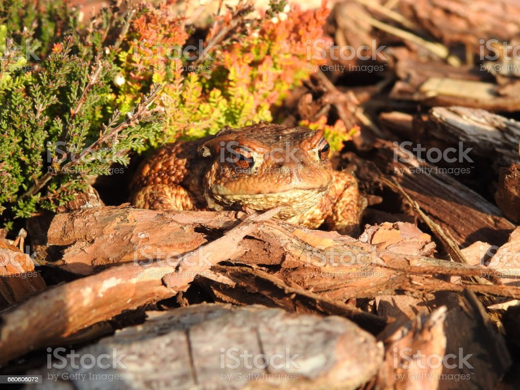 The common toad, European toad (Bufo bufo) stock photo
