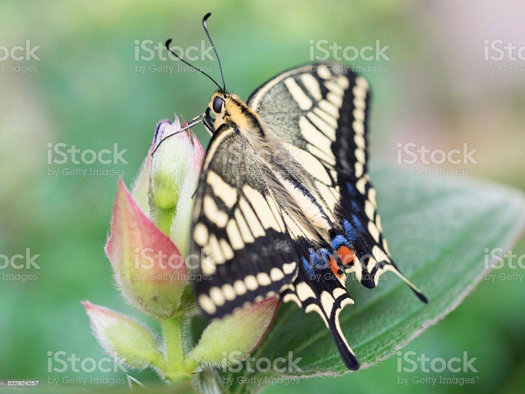 The common yellow swallowtail stock photo