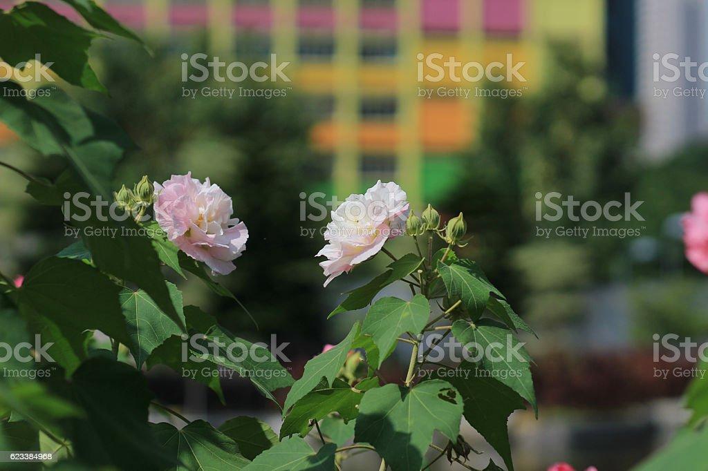 the confederate rose ; Hibiscus mutabilis stock photo