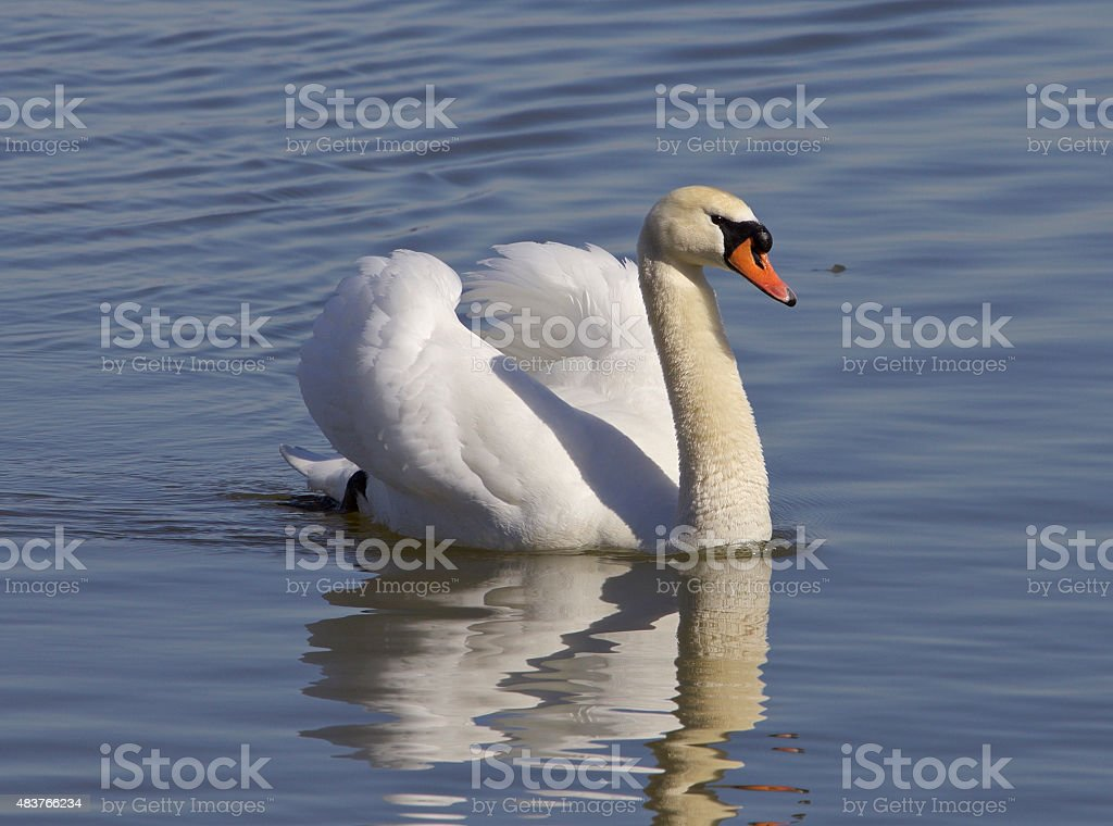 The confident swan stock photo