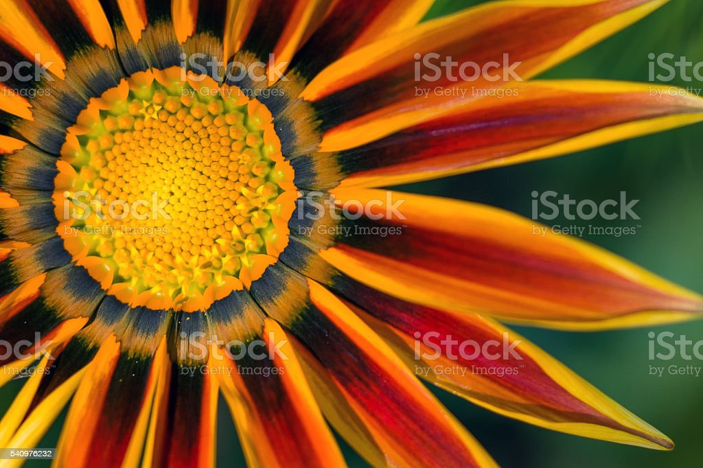 The core of the gazania flower stock photo