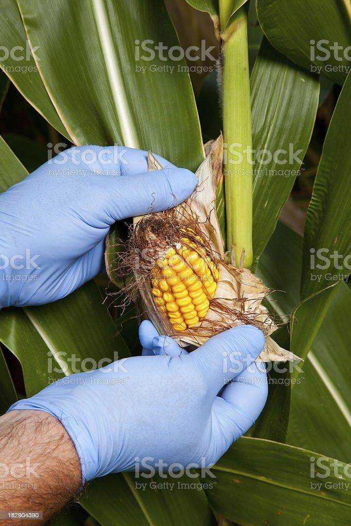 The Corn Doctor stock photo