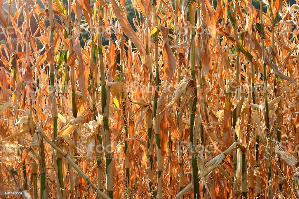 The Corn Field royalty-free stock photo