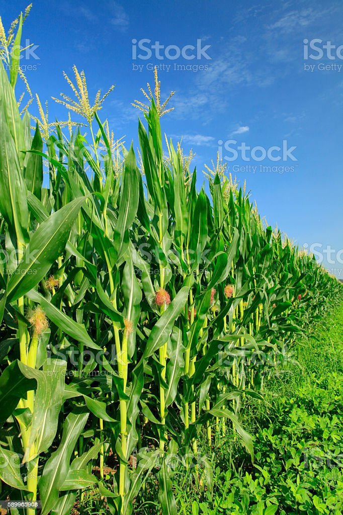 The corn in the field stock photo