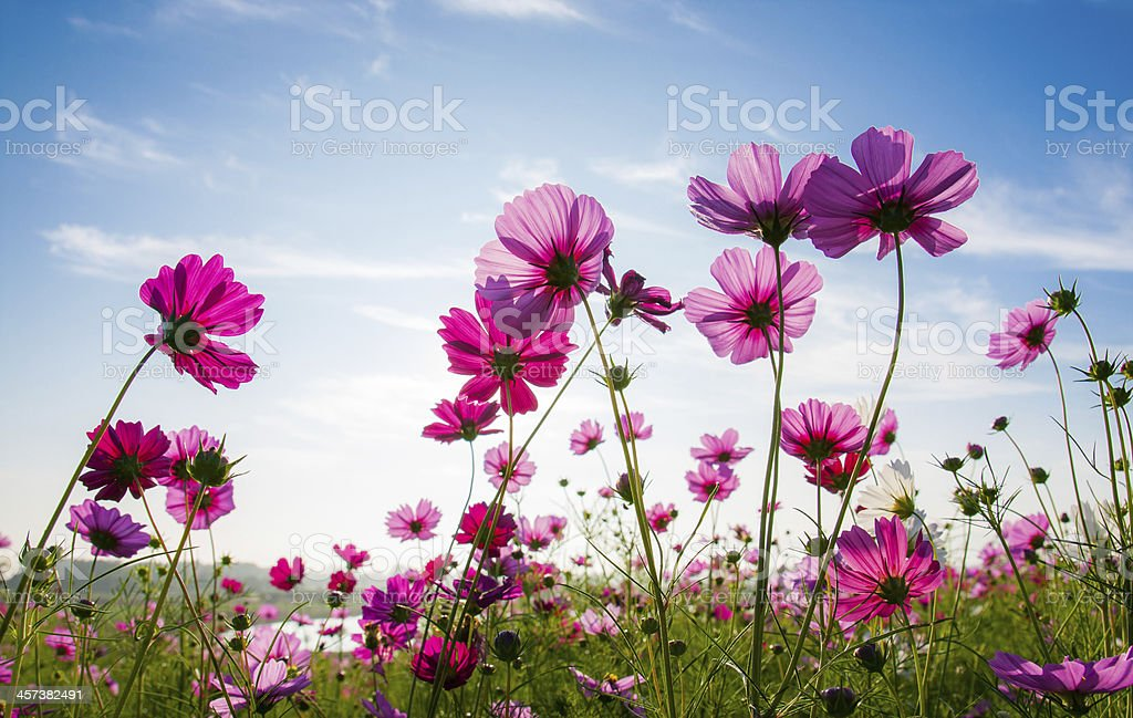 The cosmos flower field stock photo