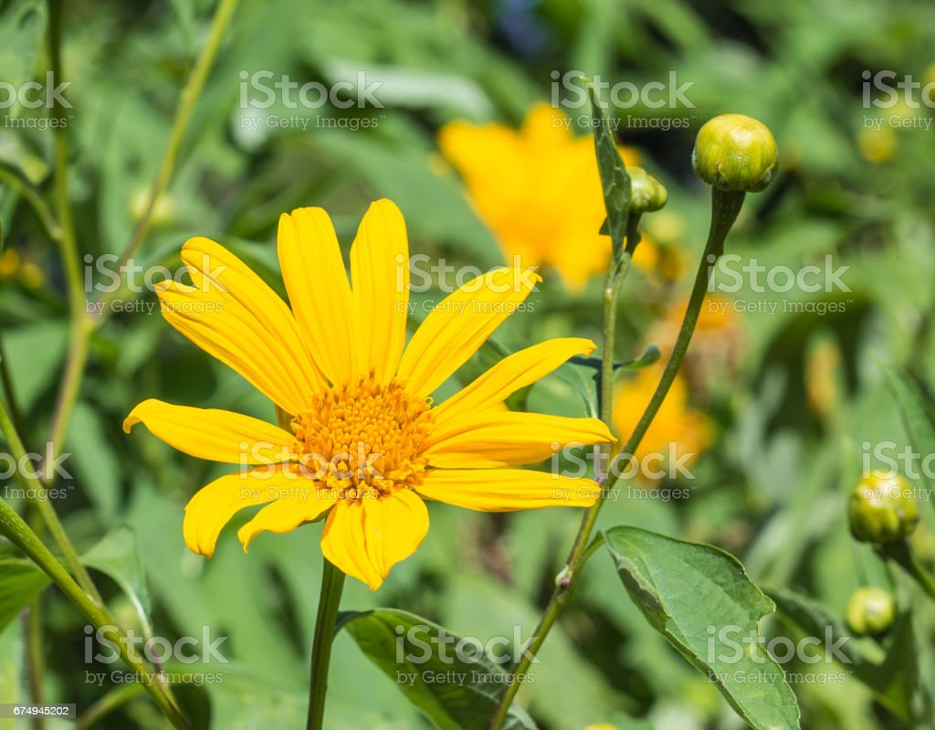 The cosmos yellow flowers and have their blurry yellow field background. stock photo