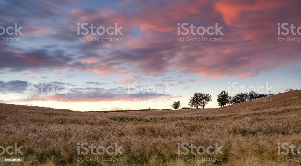 The Countryside (Wheat field at sunset) royalty-free stock photo