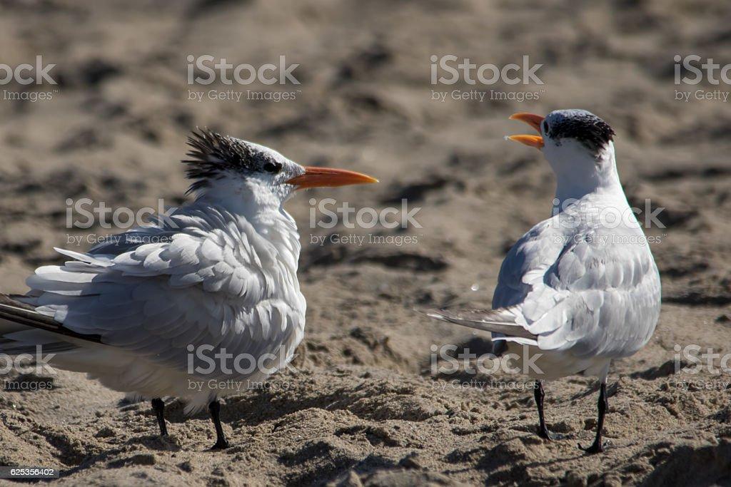 The Couple of Royal Terns at the Malibu Beach stock photo
