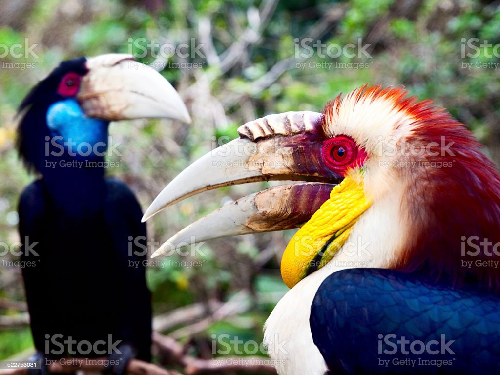 The Couple Wreathed Hornbills stock photo