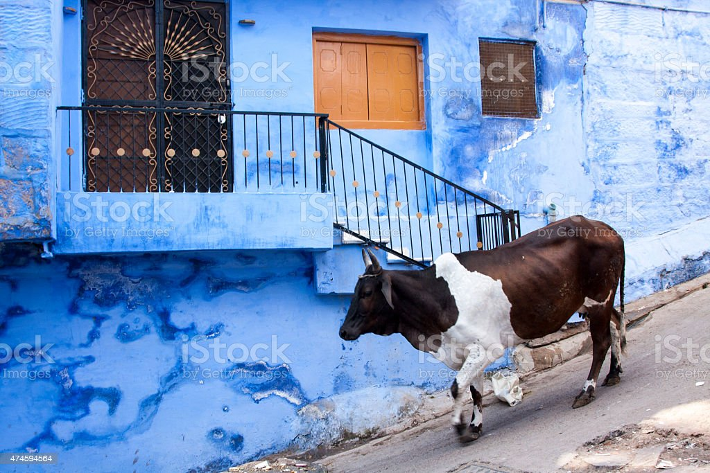The cow in Blue city stock photo