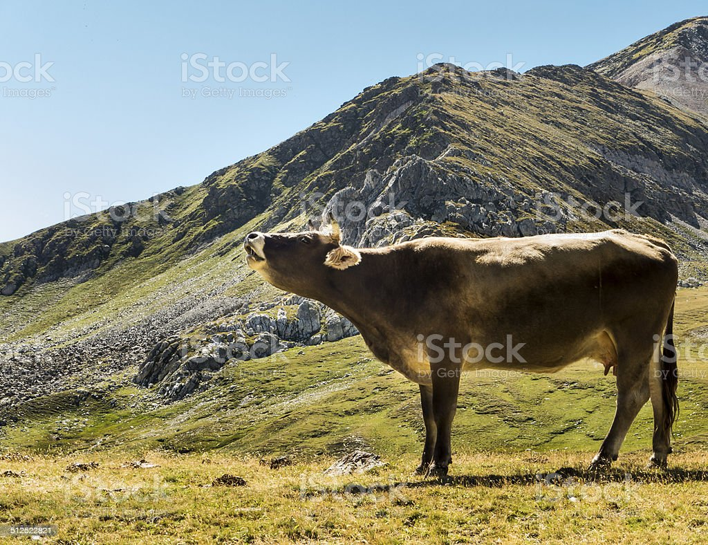 The cow in the Pyrinees stock photo