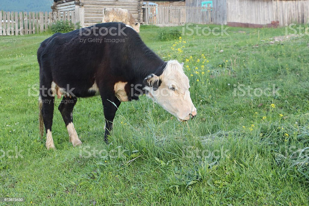 The cow is grazed on a green grass stock photo
