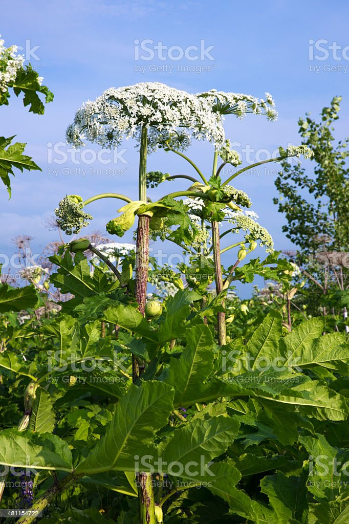 the cow parsnip plant stock photo