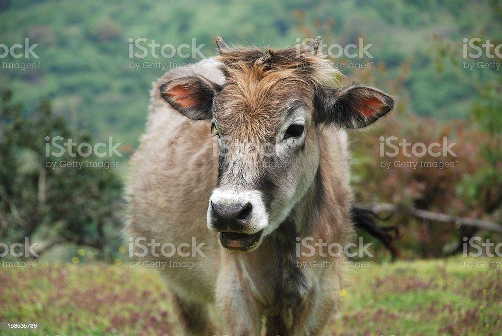 Die Rindsleder Lizenzfreies stock-foto