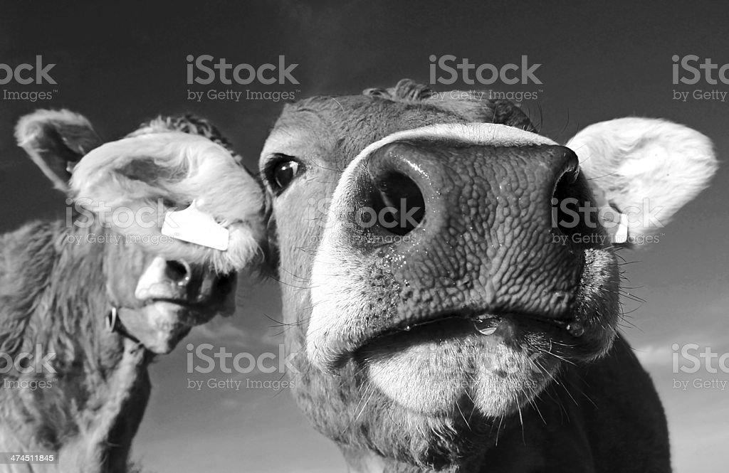 the cow stock photo