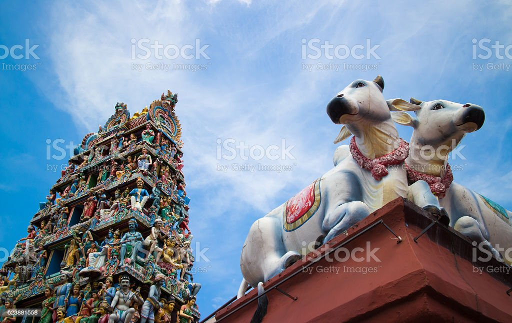 the cows and Sri Mariamman Temple pagoda stock photo