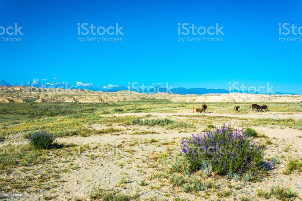 The cows in the pasture, Kyrgyzstan. stock photo