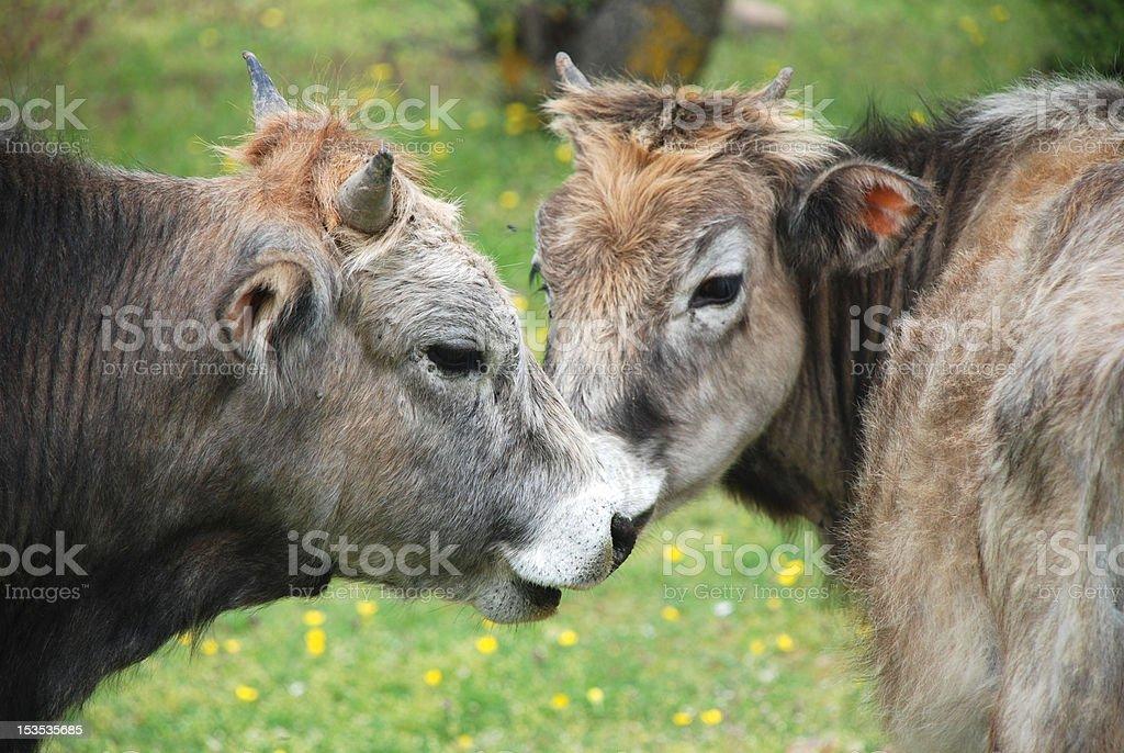 Die Kühe Lizenzfreies stock-foto