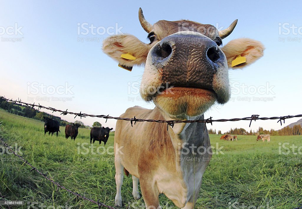 The cows stock photo