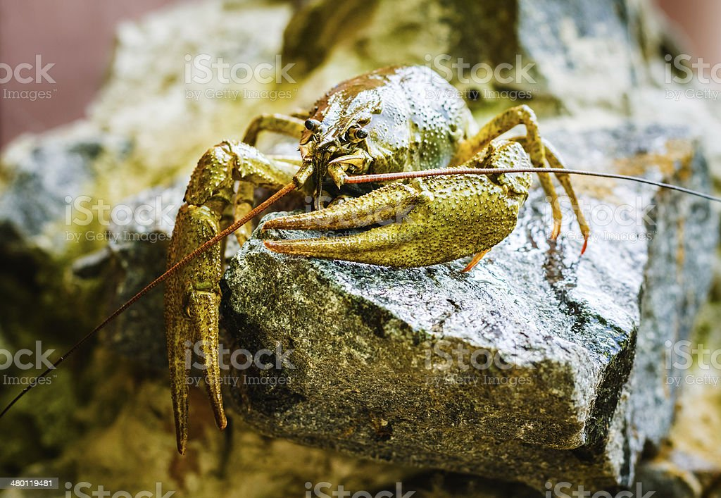 The crawfish on a stone royalty-free stock photo