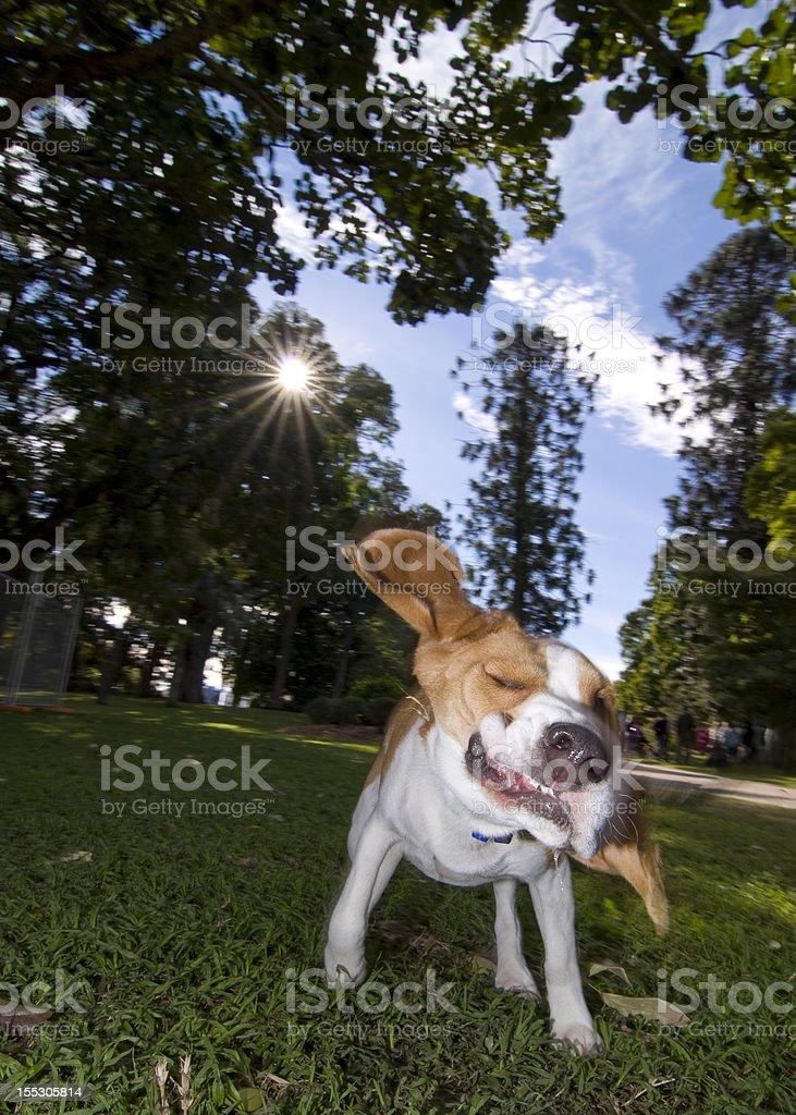 The crazy beagle stock photo