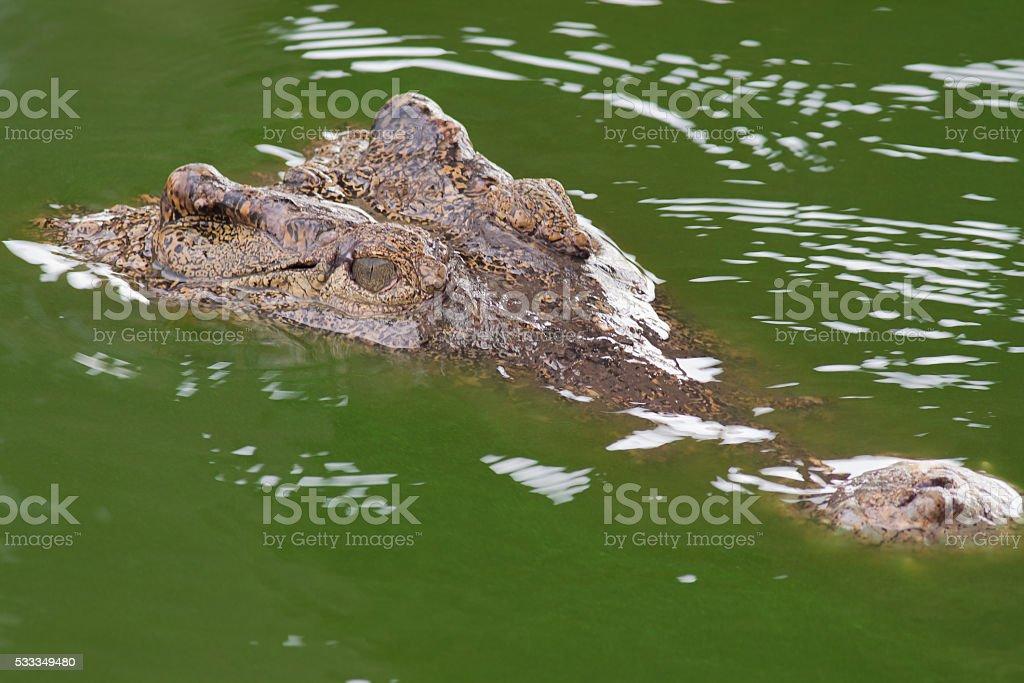 The crocodile head while swimming royalty-free stock photo