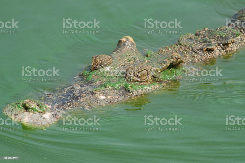 The crocodile head while swimming royalty-free stock photo