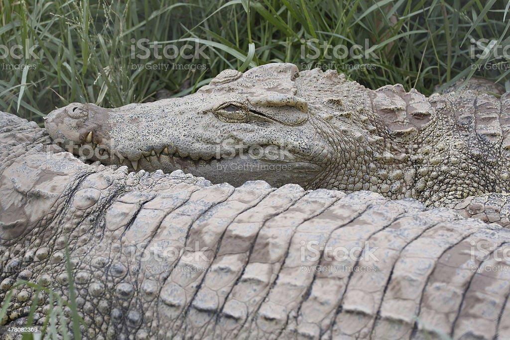 The Crocodile. stock photo