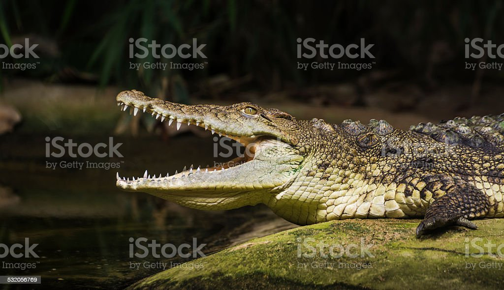 The Crocodile,coldblooded animals stock photo