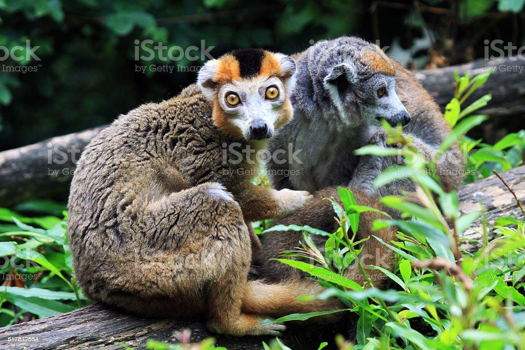 The crown lemur (Eulemur coronatus) stock photo