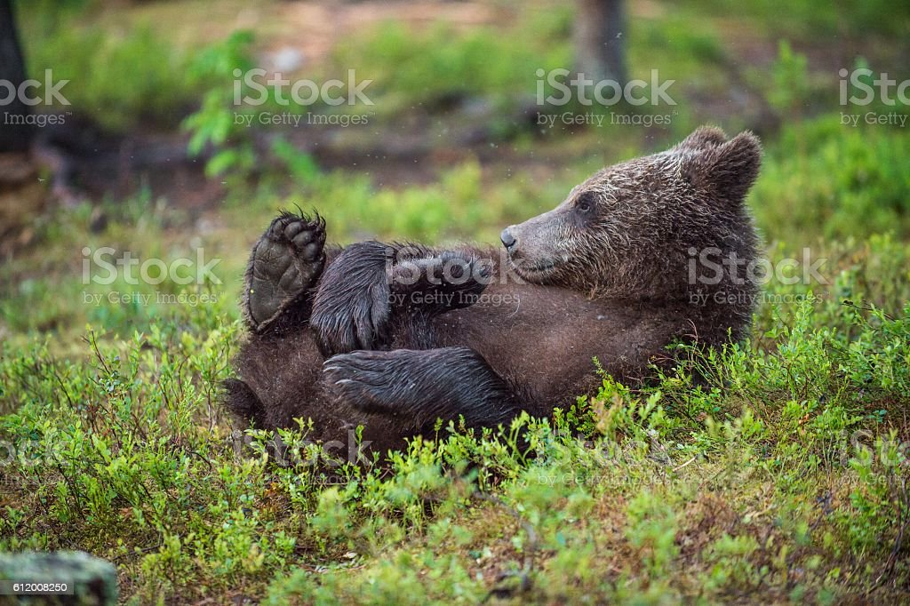 The Cub of wild brown bear stock photo