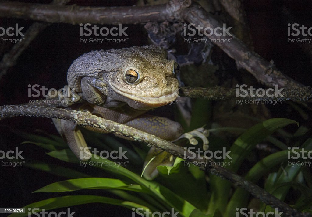 The Cuban Tree Frog at night . stock photo