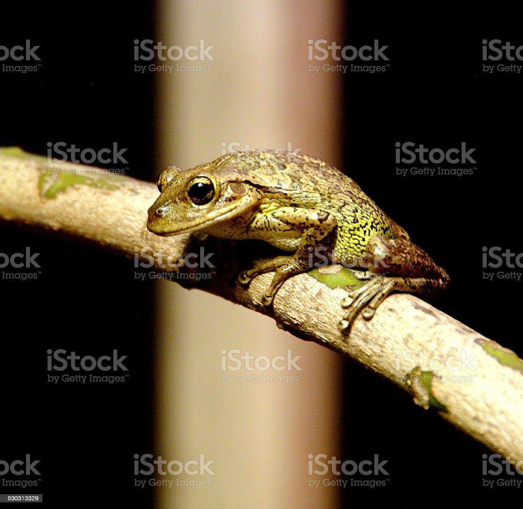 The Cuban Tree Frog stock photo