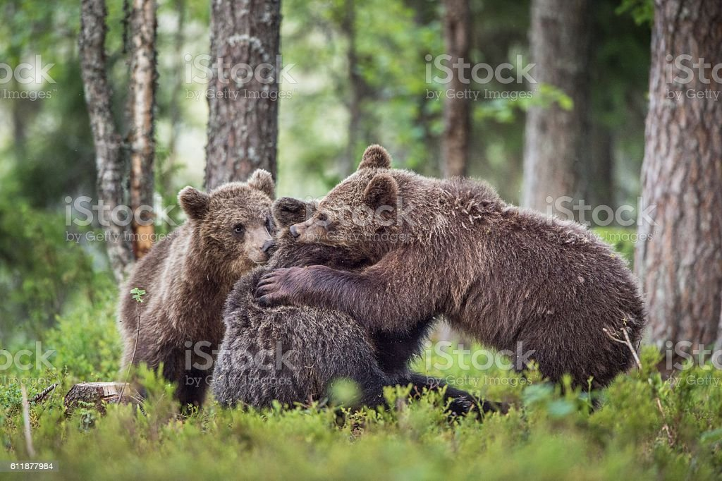 The Cubs of Brown bears stock photo