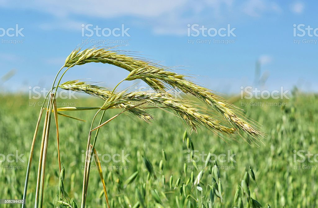 the cultivation of crops in summer stock photo