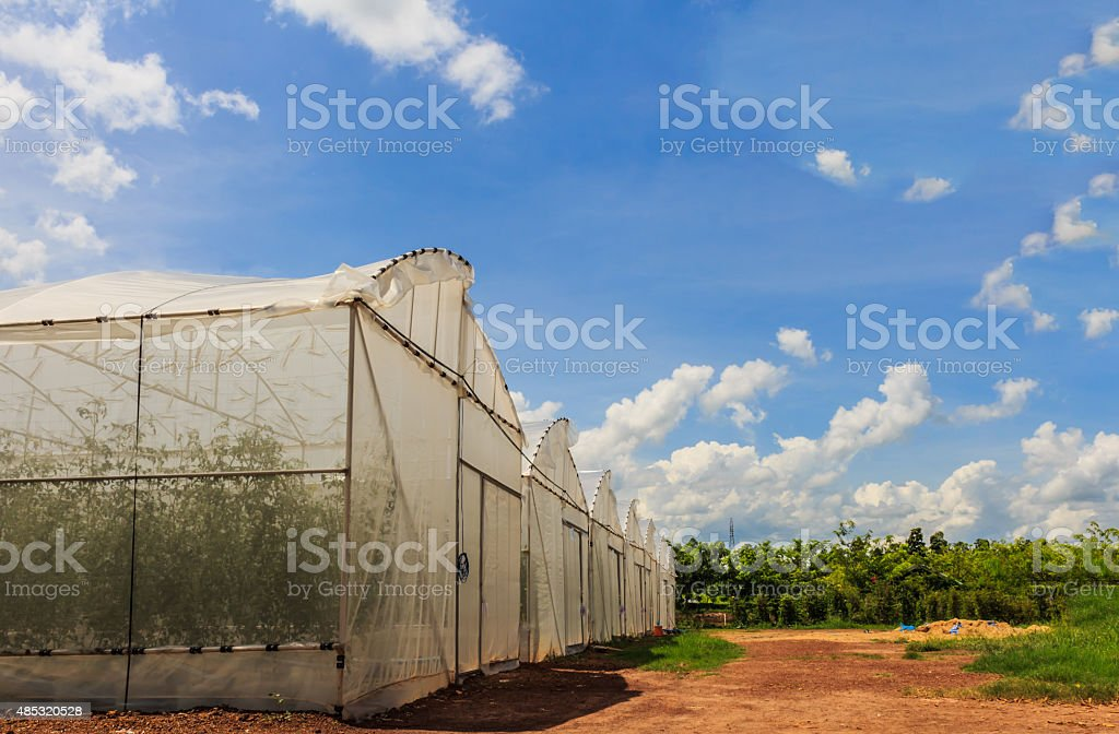 The cultivation of Melon seedlings plastic greenhouses stock photo